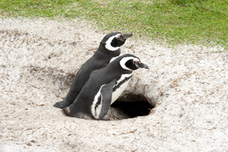 New Home, Magellanic Penguins, Falkland Islands