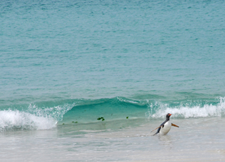 Surfing Gentoo, Falkland Islands