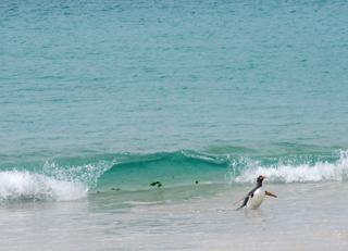Surfing Gentoo, Falkland Islands