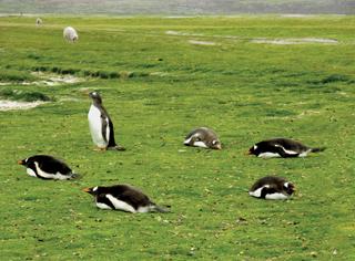 Penguin Yoga, Gentoo on the Falkland Islands