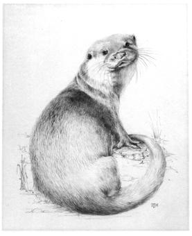 Pencil otter