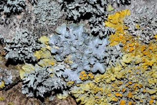 Lichens on bark, Jersey, including Punctelia subrudecta and Xanthoria parietina