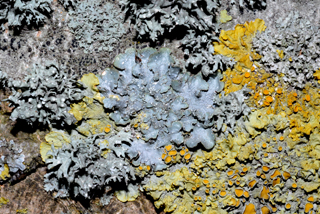 Lichens on bark, Jersey, including Punctelia subrudecta and Xanthoria parie
