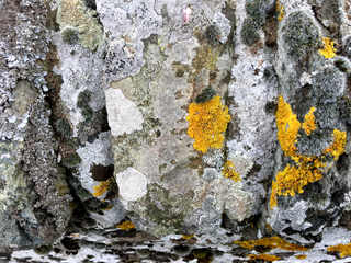 Mosaic of lichens on mixed stone wall
