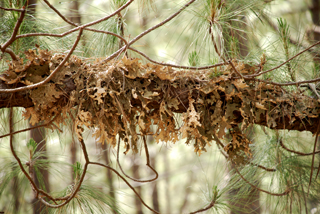 Lobaria pulmonaria in pine forest