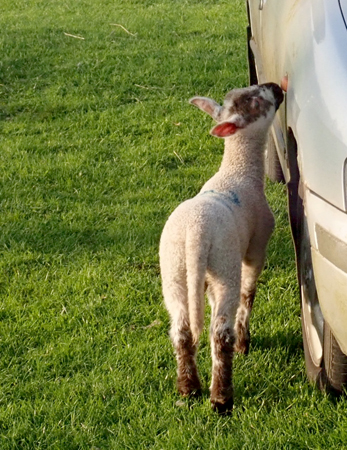 Lamb eating lichen on a car