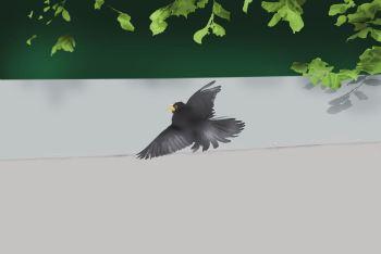 Blackbird sunbathing