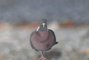 Neighbourhood Wood Pigeon