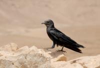 Fan-tailed Raven, Masada