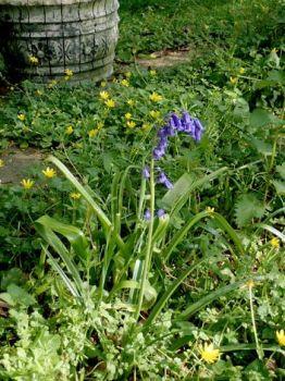 Bluebell in the garden