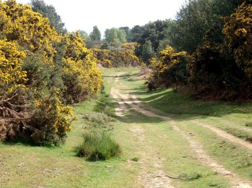 Gorse on Ashdown Forest