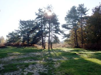 Sunlight in Ashdown Forest trees