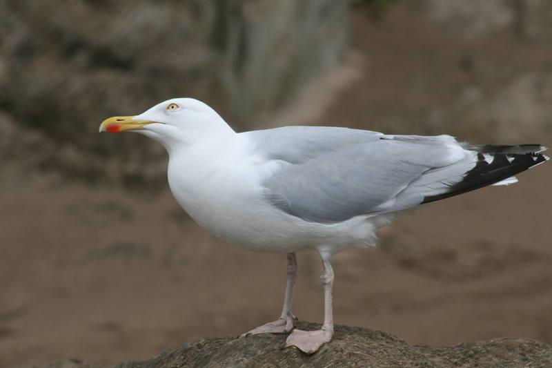 Bigbury gull