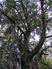 Live Oak draped with Spanish moss stands in the grounds of Cheltenham Park