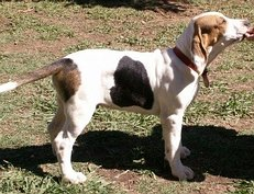 harley puppie standing