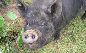 petal the pig
