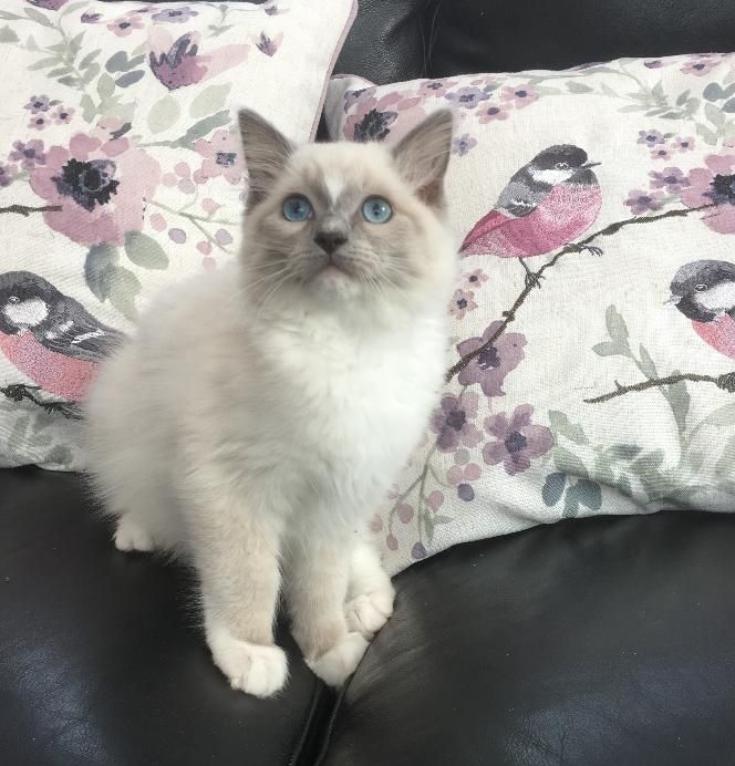 BLUE MITTED BOY WITH BLAZE 3