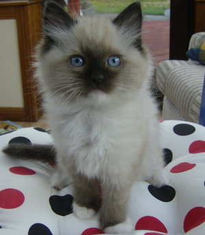 Tias seal mitted kitten