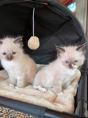 Lunas seal mitted boys