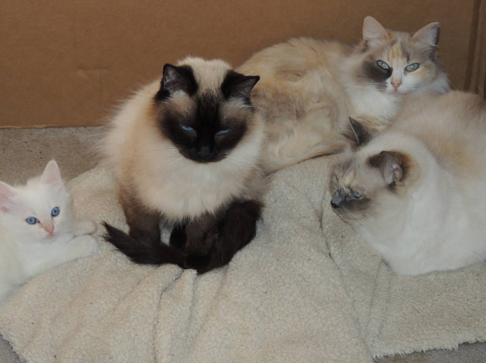 CASTLETOPDOLLS RAGDOLL KITTENS IN MARYLAND, RAGDOLL CAT BREEDER IN