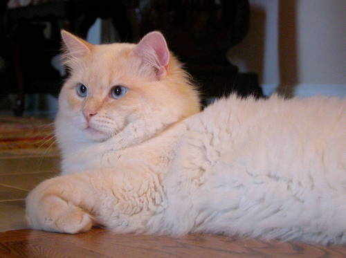 Maryland Ragdoll Cattery Ragdoll Kittens For Sale