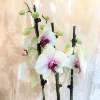 Fresh Potted Plant Gift - Deluxe Phalaenopsis Orchid £25.00 - FREE delivery