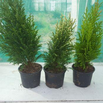 Small Conifers