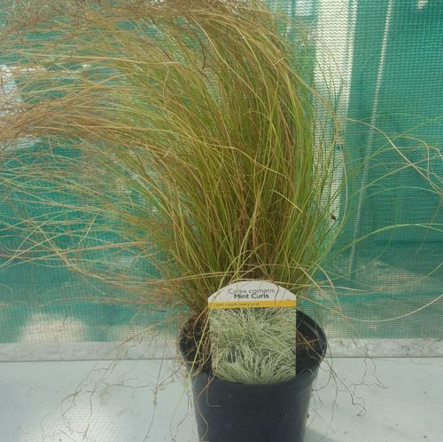 Carex Comans - Mint Curls