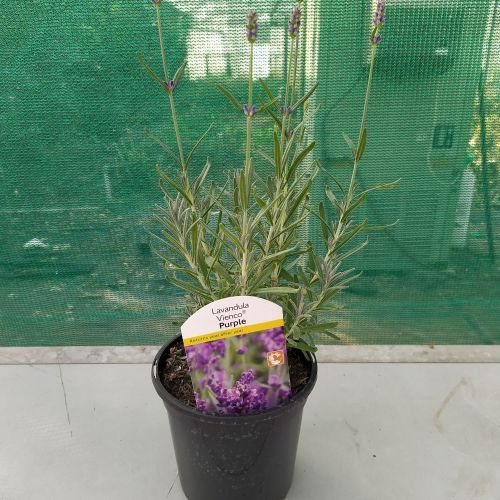 Lavandula Vienco Purple