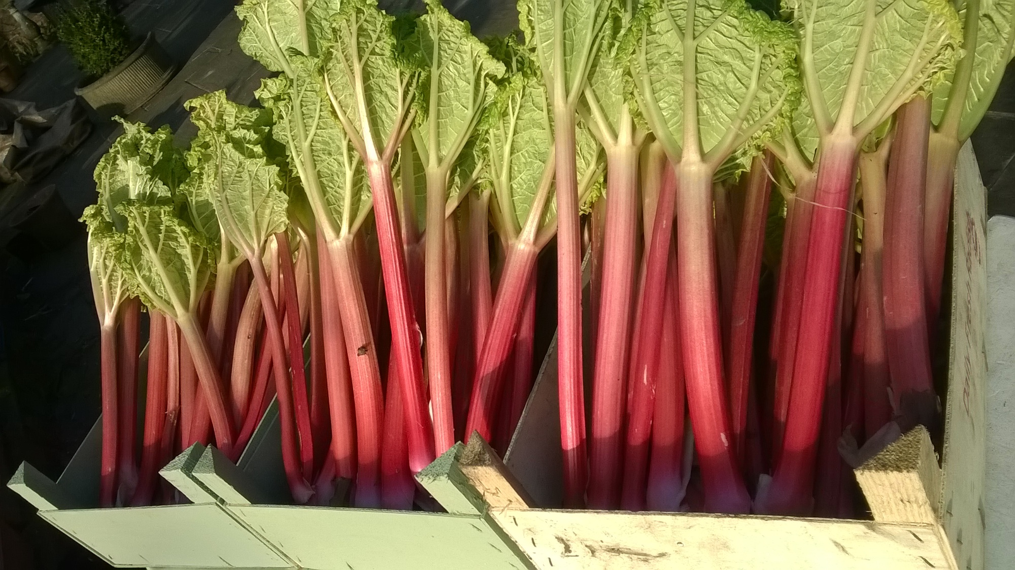 LOCAL HEREFORDSHIRE RHUBARB IN THIS WEEK FRESHLY PICKED FOR YOU