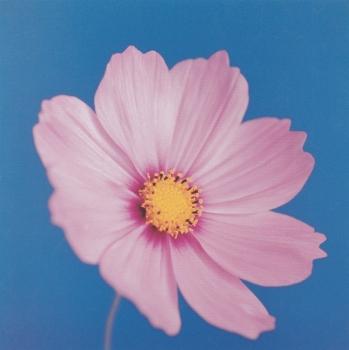 Cosmos Mauve on Reflex Blue Masao Ota - Icon greetings card