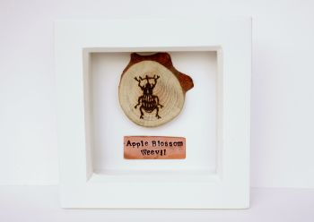 Wooden Framed Insect - Apple Blossom Weevil