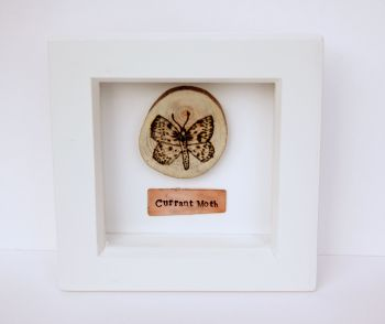 Wooden Framed Insect - Currant Moth