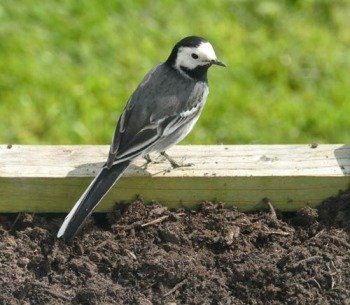 pied wagtail small