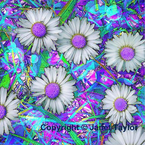 daisies dp copyright