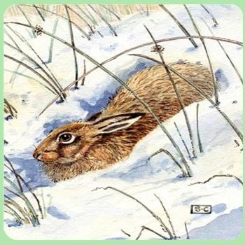 Hare In Snow