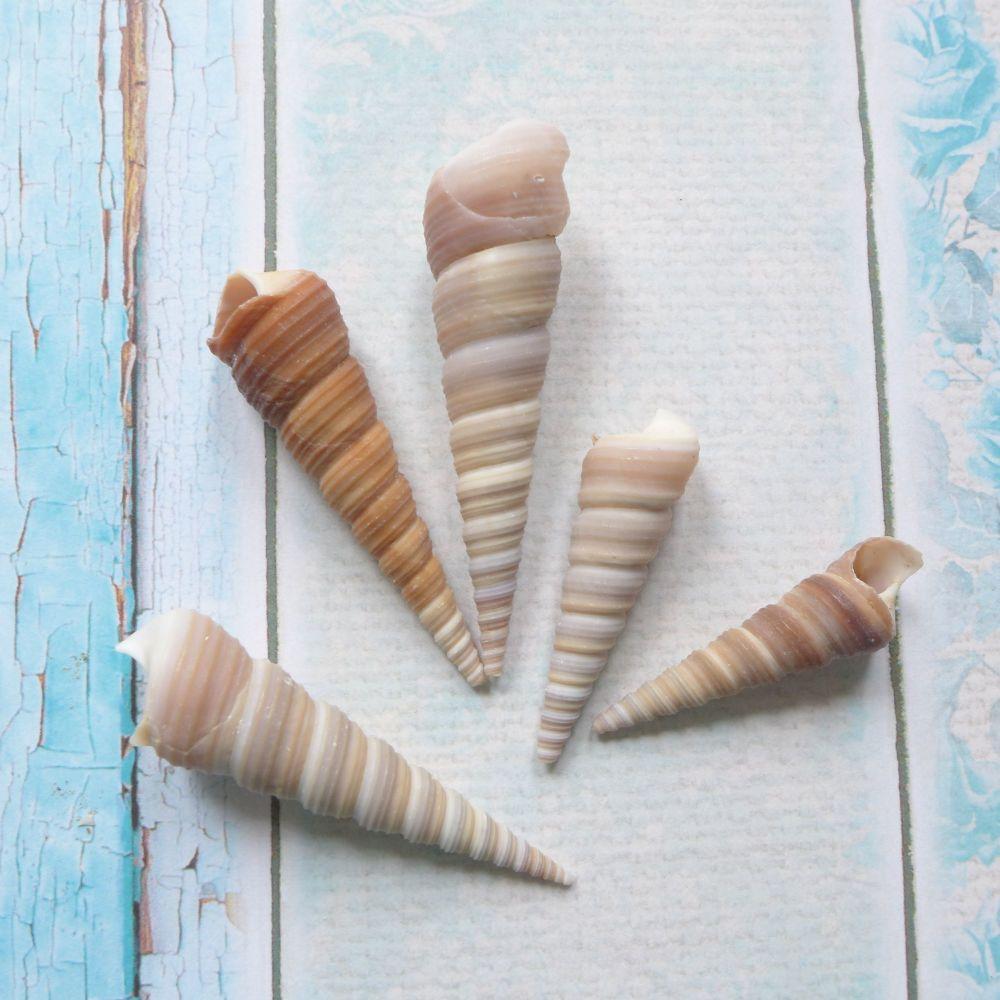 Horn shaped Seashells