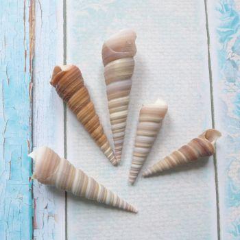 Horn shaped Seashells (E5025)