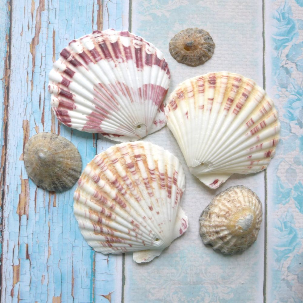 Assorted Scallop Seashells (E5026)