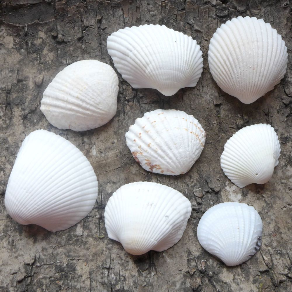 Assorted White Seashells (E5027)