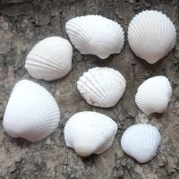 Assorted White Seashells (E5006)