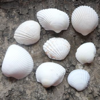 Assorted White Seashells (E5028)