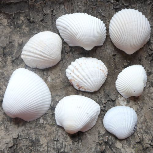 Assorted White Seashells (E5027)