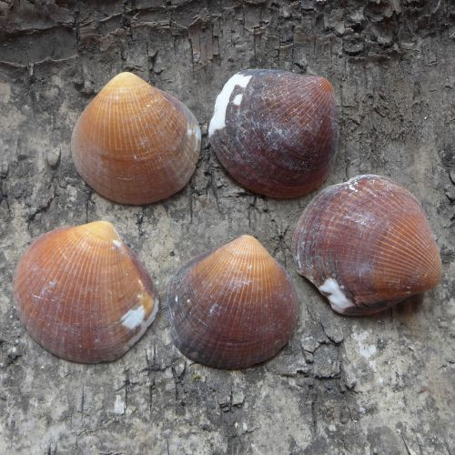 Brown Seashells (E5029)