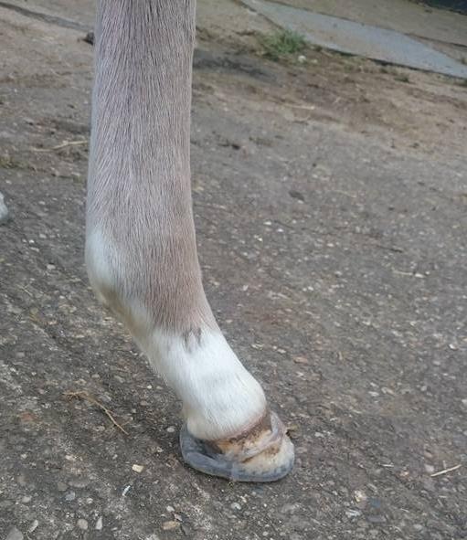 Foal Cuff
