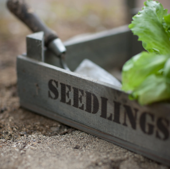 Garden Trading Wooden Seedlings Tray