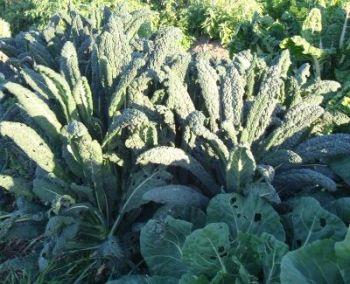 Kale - Cavolo Nero