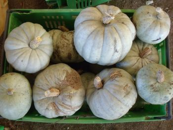 Pumpkin - Crown Type
