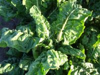 Silverbeet Fordhook Giant