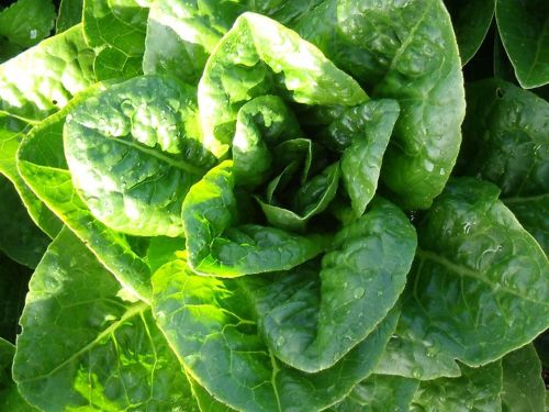 Lettuce - Odell's